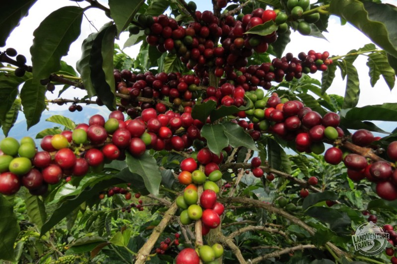 Authentic coffee farms